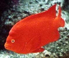 California State Marine Fish - Garibaldi