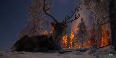Reindeer in the moonlight/ Sallan poropuisto