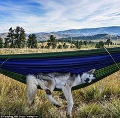 Living the good life: @loki_the_wolfdog looks right at home in his hammock, but ignores th...