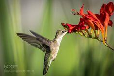 Hummingbird............. by AnthonyLe2 via http://ift.tt/2iDKtqJ