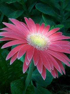 Gerber Daisy. I had one Haven, my granddaughter planted that bloomed until first of January!! This year.