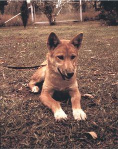 Snowgoose - everyone favourite dingo