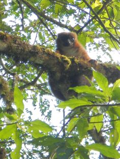 One of my own photos! A Red Bellied Lemur in Ranomafana National Park in Madagascar :)