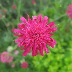 Knautia Macedonia #knautia Macedonia, Bloom, Flowers, Plants, Plant, Royal Icing Flowers, Flower, Fruit Salads, Florals
