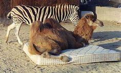 I don't think the mattress warranty covers use by camel. :)