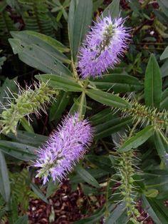 Espiga violet flowers