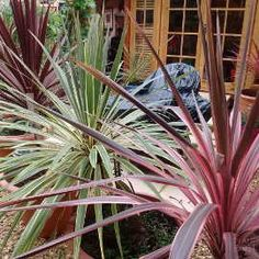Tropical Plants you can use to Create a UK Hardy Exotic Paradise - Tropical Pla. - Tropical Plants you can use to Create a UK Hardy Exotic Paradise – Tropical Plants you can use t - Tropical Plants Uk, Small Tropical Gardens, Tropical Garden Design, Back Garden Design, Tropical Landscaping, Exotic Plants, Shade Shrubs, Shade Plants, Small Garden Uk