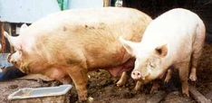 PIG CARE SHEET.......AND CONSIDER PIG FARMING ASWELL !!!!!