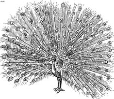Peacock Coloring Pages Photos