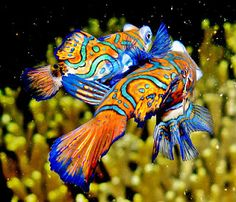 Top 5 Most Beautiful Fish Fish Wallpaper Fish pictures Mandarinfish The Mandarinfish or Mandarin dragonet , is a small, brightly-colored mem. Saltwater Aquarium, Aquarium Fish, Saltwater Tank, Poisson Mandarin, Scuba Travel, Blue Pigment, Fish Wallpaper, Fishing Pictures, Underwater Creatures