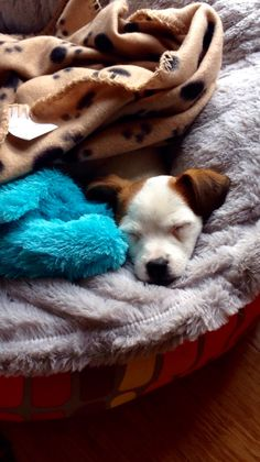 Jack Russell sleeping
