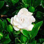10 μυστικα για φροντιδα γαρδενιας (ΒΙΝΤΕΟ) Alstromeria, Plants, Garden, Gardenia, Rose, Flowers