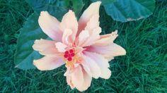 Multilayer rose hibiscus, una variedad del Mar pacifico con varias capas