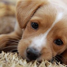 Ohhh those sweet puppy dog eyes! Cute Baby Animals, Animals And Pets, Funny Animals, Cute Puppies, Cute Dogs, Dogs And Puppies, Doggies, Sweet Dogs, Beagle Puppies
