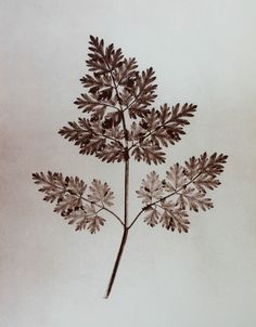 Leaf of a plant, 1844 (from: The Pencil of Nature)   Photographer: William Henry Fox Talbot   (Photogravure 1998 by Egyetemi Nyomda, Hogyf, Budapest)