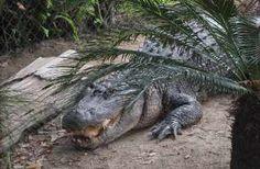 Florida aligators.