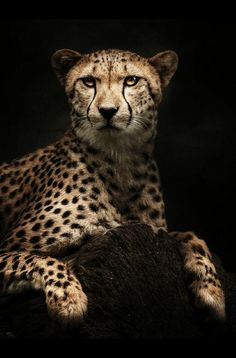A Cheetah Resting in Darkness. Cheetah Animal, My Animal, Big Cats, Cool Cats, Beautiful Creatures, Animals Beautiful, Big Cat Tattoo, Animals And Pets, Cute Animals