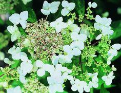 KLATREHORTENSIA Hydrangea anomala petiolaris - hvite blomsterklaser i juli, kalkfattig, humusrik, jevnt fuktig jord, gjerne skyggefullt. Hurtigvoksende, sprer seg med 4-8 meter lange greiner som har hefterøtter. Kan lett beskjæres. Ødelegger husveggen, men er fin på fjell ol. H6