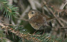 Winter Wren - Hanna Flats Cedar Grove - Idaho Birding Trail - by Michael Woodruff