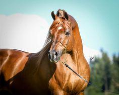 Jamaal Khan (Jake Jamaal x PS Echo's Flame) chestnut stallion