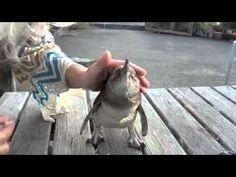 Zwergpinguin (Blue Penguin) in NZ - YouTube