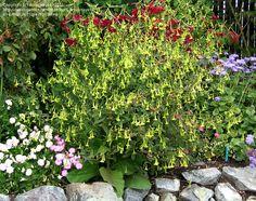 Flowering Tobacco, Nicotiana  Nicotiana langsdorfii