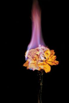 ~ Mat Collishaw ~ I like the burning effect on the flower in the image ~ this is more of a studio lit image ~ A Level Photography, Photography Themes, Still Life Photography, Nature Photography, Color Splash, Burning Flowers, Enjoy The Ride, Fire Flower, Into The Fire
