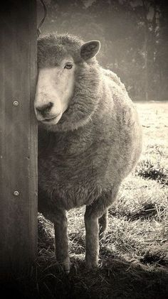Sheepish photographed by Karena Goldfinch. via flickriver