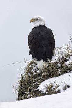 Bald Eagle - Haines, Alaska