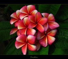 Rare Flowers - The Plumeria Lurline by mad plumerian, via Flickr