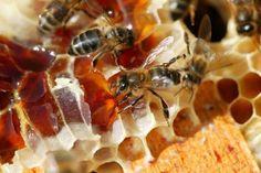 Fabrication du miel par l'abeille