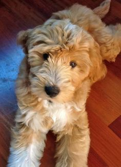 What a sweet looking puppy dog! Labradoodle.
