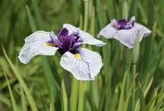 Iris ensata Thunb.