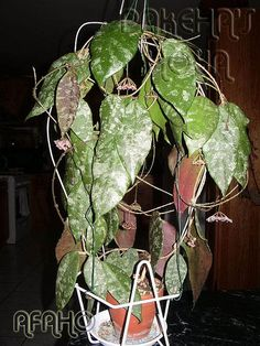 Hoya caudata