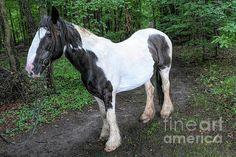 Gypsy Horse, Horses, Wall Art, Animals, Animales, Animaux, Animal, Animais, Horse