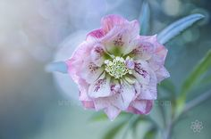 Helleborus Double Queen by Jacky Parker on 500px