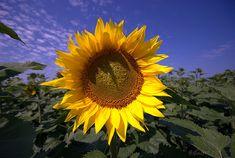 love sunflowers and sunflower seeds
