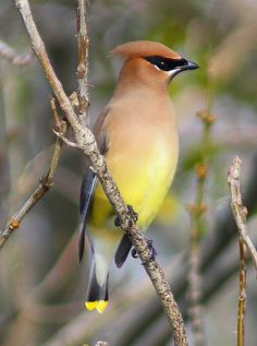 "Another pinner said ""Cedar Wax Wing.Got super excited when I saw this in my moms back yard. She laughed at me for being such a nerd. Kinds Of Birds, All Birds, Little Birds, Love Birds, Pretty Birds, Beautiful Birds, Animals Beautiful, Reptiles, World Birds"