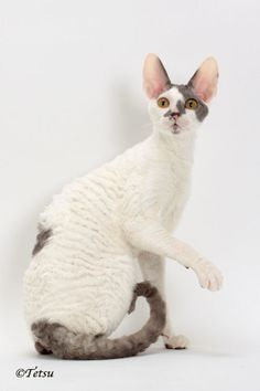 IW SGC Tenderclaws Martin of Kingsransom ..... Cornish Rex