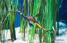 another quizzical creature picture Ocean Creatures, All Gods Creatures, Cute Creatures, Dragon Seahorse, Monterey Bay Aquarium, Seahorse Aquarium, Weedy Sea Dragon, Colorful Seahorse, Pisces
