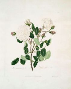 new to site White Provincialis = White Provence Rose.