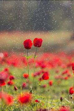 Best ideas for wallpaper flores vermelhas aquarela Simply Beautiful, Beautiful World, Red Flowers, Beautiful Flowers, Red Roses, Wallpaper Bonitos, Red Poppies, Red Tulips, Mother Nature