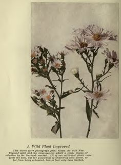 Luther Burbank: Wild Aster Agricultural Science, Aster, Poppies, Daisy, Flowers, Daisies, Florals, Bellis Perennis, Flower