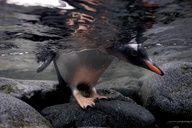 A  Gentoo penguin at Port Lockroy, Antarctic Peninsula.