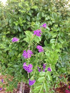 Golden Dewdrop (duranta): You have a Golden Dewdrop shrub. It gets its name from the golden berries that occur after the flowers fall off. This particular variety is call 'Sapphire Falls. Duranta, Plant Identification, Fall Flowers, Shrubs, Purple, Blue, Outdoor Living, Berries, Sapphire