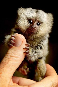 A young Pygmy Marmoset (Cebuella pygmaea or Callithrix pygmaea). The pygmy marmoset is one of the smallest primates in the world. Its food includes insects, nectar and fruit, but mostly gum -- its dentition is specialized for gnawing holes in the tree bark.