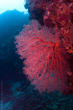 Bright red sea fan on the coral reef underwater in Malaysia by soren egeberg