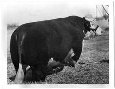 What show cattle used to look like and should still look like!   Thick, functional cattle, where did they go?