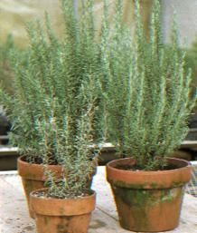 Grow Rosemary Outdoors and In (Also tells how to propagate by cuttings)   Fine Gardening