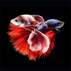 7 curiosidades sobre o peixe beta   Curto e Curioso